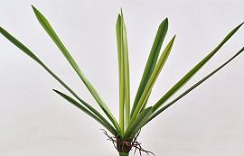 Orchid Base 51cm