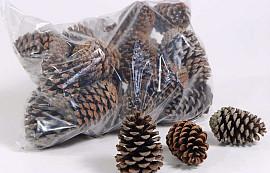 Pinus Maritima Cones