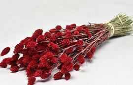 Phalaris Red 70cm