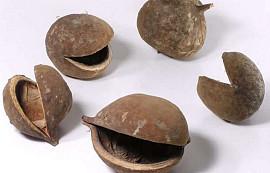 Buddha Nut 8-12cm 15-Pack