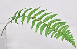 Ladder Fern Leaf 70cm