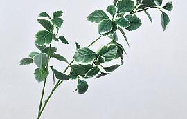 Euonymus Dark Green 91cm
