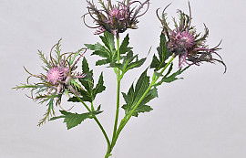 Wild Sea Holly Spray 67cm