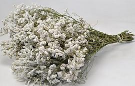 Limonium White 25pcs Big Pack