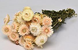 Helichrysum Cream 45cm
