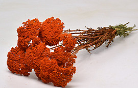 Achillea Parker Orange 70cm