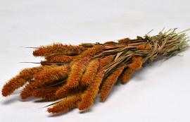 Setaria Oranje 65cm