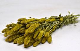 Setaria Yellow 65cm