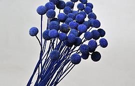Craspedia Blauw, per steel