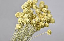Craspedia pastel yellow, per stem