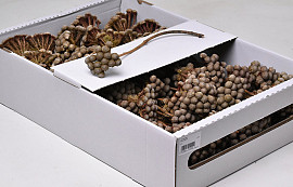 Brunia Albiflora 70-Pack