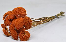Achillea Oranje