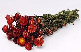 Bouquet Helichrysum Rouge 45cm