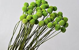 Craspedia Spring Green, per stem