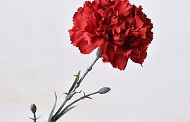 Dianthus 60cm Red