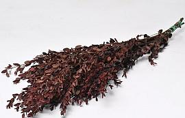 Eucalyptus Parvifolia 65cm Rood
