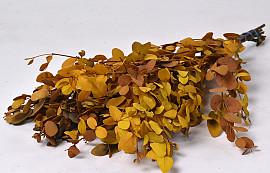 Eucalyptus Gunnii Yellow 65cm
