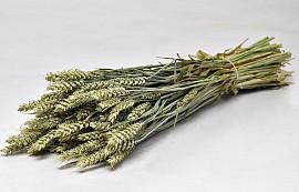 Triticum natural (wheat) 70cm