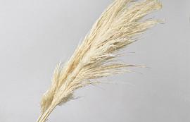 Pampas gras Mix 110cm Gebleekt