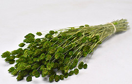 Phalaris Green 70cm