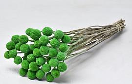 Craspedia Pastel Green 40pcs