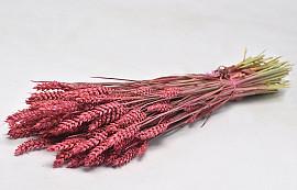 Triticum Pink (wheat) 70cm