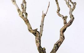 Bois de Lila XXL 100-120cm