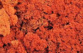 Reindeer Moss Orange per kg