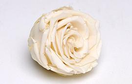 Roses préservé 5cm Champagne