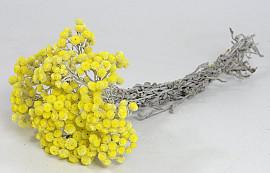 Helichrysum Immortelle 30cm