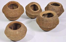 Sapucaia D11-13cm