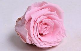 Roses préservé 5cm Rose Pastel