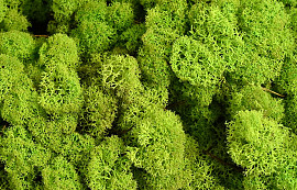 Reindeer Moss Lime Green Kg