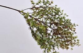 Asparagus 90cm soft touch