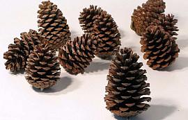 Maritima Pine 25pcs, 12-14cm Länge