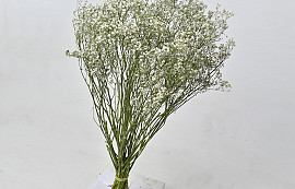 Gypsophila 60cm (25 tak)