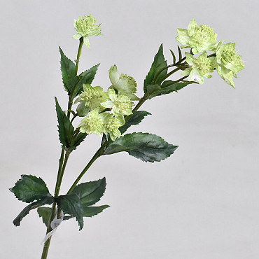Astrantia Green 50cm