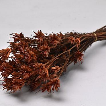 Nigella Orientalis 55cm Terra