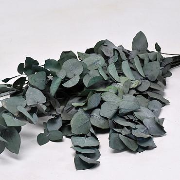 Eucalyptus Cinerea 65cm