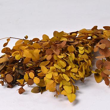 Eucalyptus Gunnii Geel 65cm