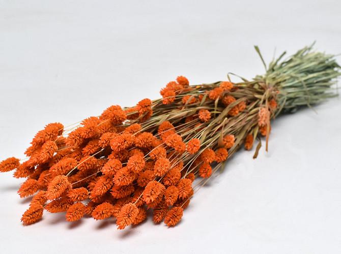 Phalaris Oranje 70cm