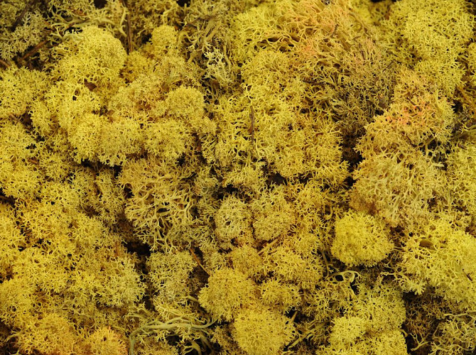 Reindeer Moss Yellow per kg