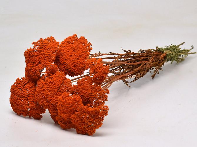 Achillea Parker Oranje 70cm
