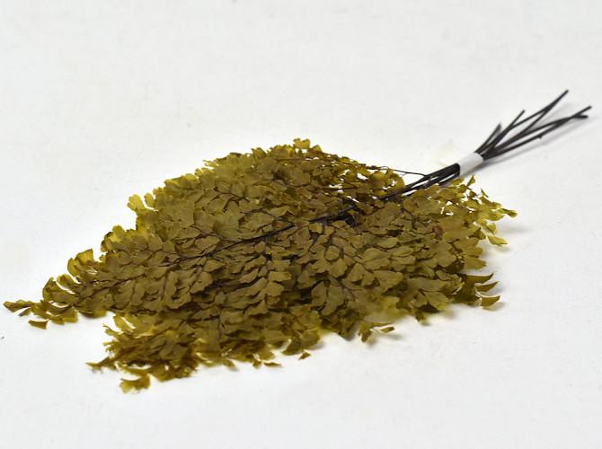 Adianthum Fougère H25cm 6pcs Vert Olive