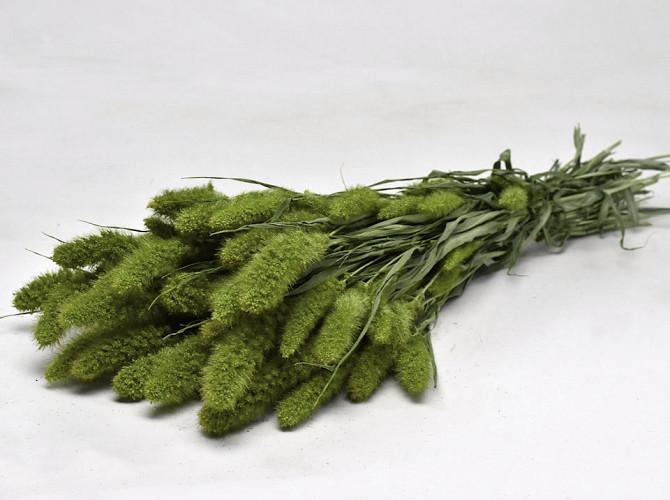 Setaria Groen 65cm