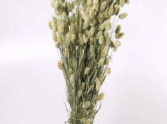Bouquet Phalaris 70cm