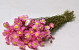 Acroclinium Pink 50cm